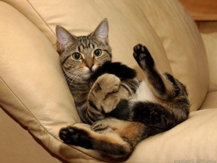 playful, cat, tail, recline, relax copyright Bill Frymire Nov 2003